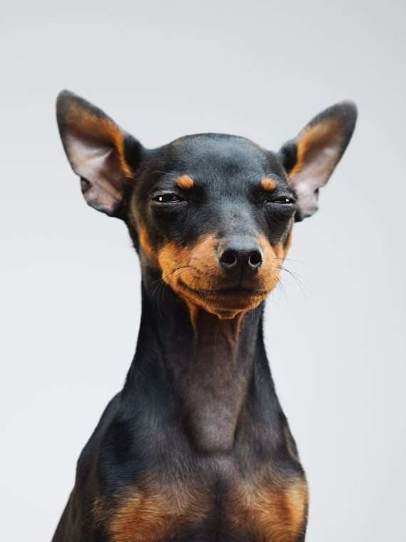 Cute miniature pinscher dog
