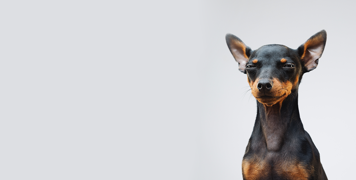 Miniature pinscher looking angry Pawbits pet food supplement hero image